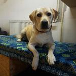 Labrador Bonnie