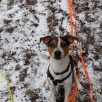 Jack Russel Terrier Nilo
