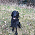 Flat Coated Retriver Blue