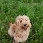 Goldendoodle Eli