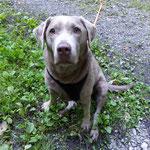 Labrador Lou