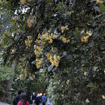 トベラの花🌸 金木犀の花のような香
