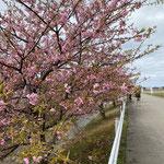 河津桜 花と葉が一緒に出るんですね(*'ω'*)