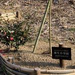 ふるさとミュージアム裏の記念樹