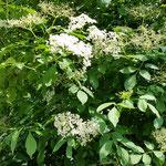 Hollunder in voll Blütenpracht! Hollersaft, Hollerküchlein, Hollergelee, frisch als Tee, oder jetzt zum Trocknen für den Grippetee (zum Schwitzen!), usw.