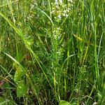 Labkraut weiß in Blüte   (Lymphkräuter)