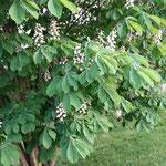 Blüten der Weissen Kastanie (Sonnenschutz ansetzen)