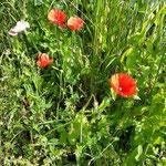 Mohnblumen - erwärmt das Herz alleine durch den Anblick