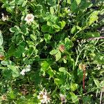 Weißer Klee - Achtung: wenn blühender weißer Klee in der Wiese steht, bitte immer achtgeben: da sind sicher Bienen am Boden - achten beim Barfußgehen!