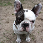 Kiesel Französische Bulldogge