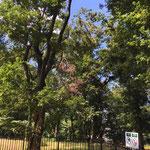 ヤマユリ群生地の上空コナラ(茶色の葉は新しい、その上の枯れ木は古い)