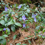 Kleines Immergrün (Vinca minor), Ende April 2013