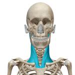 胸鎖乳突筋(前)