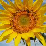 Sonnenblume Mont Ventoux