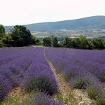 Lavendelfeld Vaucluse