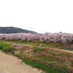 背割り堤の桜