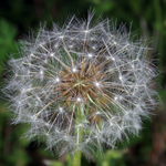 Dandelion, Macrophotography by Randy Stapleton