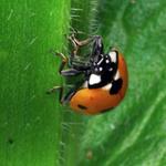Ladybug, Macrophotography by Randy Stapleton