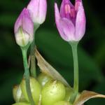Wild Onion, Macrophotography by Randy Stapleton