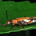 Goldenrod soldier beetle, Macrophotography by Randy Stapleton
