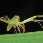 Magnolia green jumping spider, Macrophotography by Randy Stapleton
