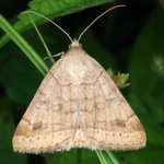 Woods moth, Macrophotography by Randy Stapleton