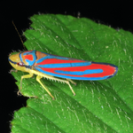 Banded leafhopper, Macrophotography by Randy Stapleton