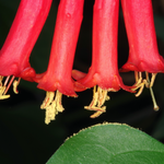 Coral honeysuckle, Macrophotography by Randy Stapleton