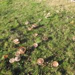 Fliegenpilze im Kreis