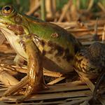 Kleiner Wasserfrosch (Foto: S. Panienka)