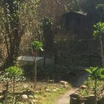 Frühling im Forest Garden mit überwinterteten Markstammkohlpflanzen