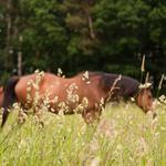 Erst wenn das Gras fast ausgeblüht ist kommen die Pferde auf die Sommerweide