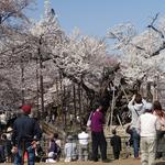 4月9日 昨日のテレビ放送の影響か平日にもかかわらず大勢の花見客が来場