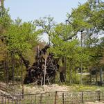 4月26日 花散れど 古代の桜 あお若葉