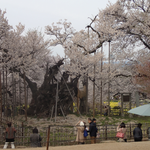 4月13日 今日北杜市で開かれたNHKのど自慢で「山高神代桜」が北杜市の自慢と言っていましたね。