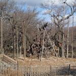 2013年12月12日 冬の神代桜 何もないようですが花芽をしっかりつけています