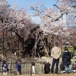 4月5日 桜も満開 人も満杯