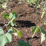 サツマイモ(二日前に苗を植えました)