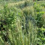 麦(敷き藁として利用します)