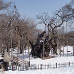 2月25日 根元の雪も溶け始めています 今日は10度で春の空気が嬉しい