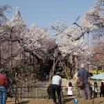4月8日 お寺の山門近くから水仙を全景に甲斐駒をバックに〔美しい写真が撮れます〕