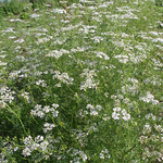 パクチーの純白の花