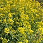 菜の花(白菜です)