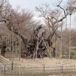 3月29日 花見客もちらほら 地方放送局の中継日程も決まり あとは桜殿の気分次第