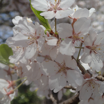 4月14日 〔〔〔 いつもの枝がダメージを受けているので被写体を隣の枝に変えました 〕〕〕