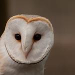 Schleiereule, Körperlänge 33-35cm, sehr helles herzförmiges Gesicht (Foto: LBV-Archiv)