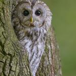 Waldkauz, Körperlänge 40-42cm, schwarze Pupille (Foto: Christoph Bosch/LBV)