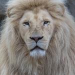 Afrikaanse witte leeuw