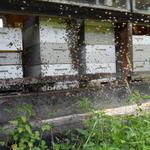 Die Hofeigenen Bienen. Der Tannenhonig kann auch probiert werden ;-)