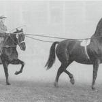 Nach 1900 wurde sogar mit Hackney-Hengsten gezüchtet. Die eindrucksvollen Kutschpferde mit ihrem einzigartigen Trab stammten aus England. 1957 wurde der Einsiedler Paradefuchs Ouragan an der Olma im Tandem-Beritt vorgestellt. Foto: KAE F3.0/543.3